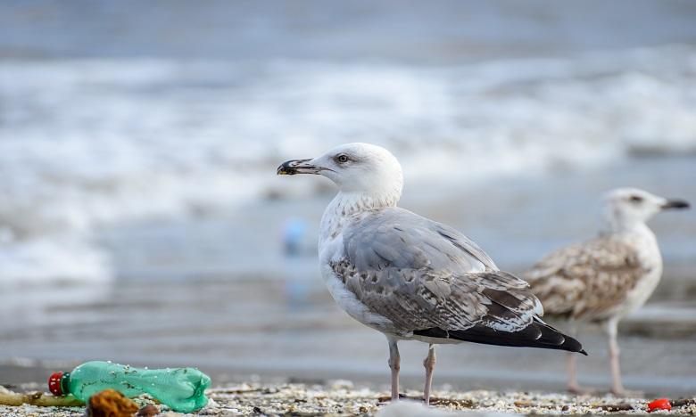 Les oiseaux de mer choisissent leur nourriture grâce à leur odorat. Le plastique peut être pris pour de la nourriture à cause des algues. Ph : DR