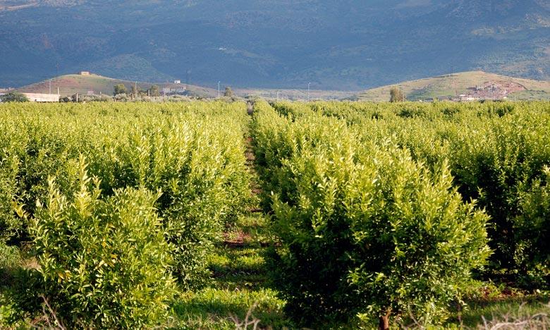 Selon un rapport de la direction régionale d'Agriculture, la production d'agrumes a atteint 450.850 tonnes soit un taux de rentabilité de 26 tonnes par hectare. Ph : MAP