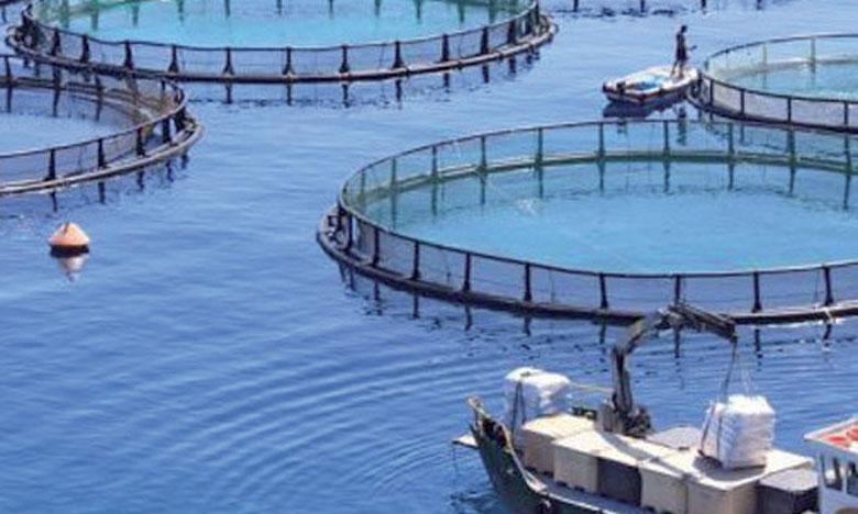 Deux espèces constituent la quasi-totalité de la production marocaine. Les huîtres, avec une part de 72%, produites dans la baie de Dakhla et la lagune de Oualidia et le loup-bar (26%) produit dans la baie de M'diq.                                                                                                                        Ph. DR