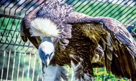 Le vautour fauve déploie ses ailes au Parc Sindibad