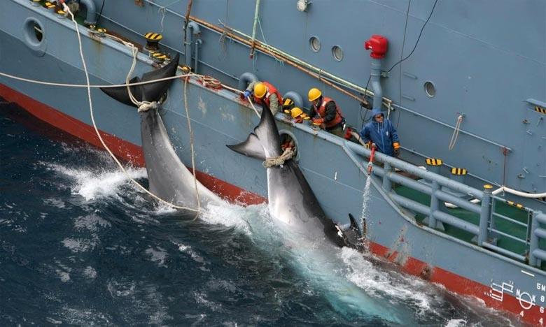 Sous le prétexte d'un programme de «recherche scientifique», les baleiniers nippons continuent de remplir leurs filets de cétacés. Ph : DR