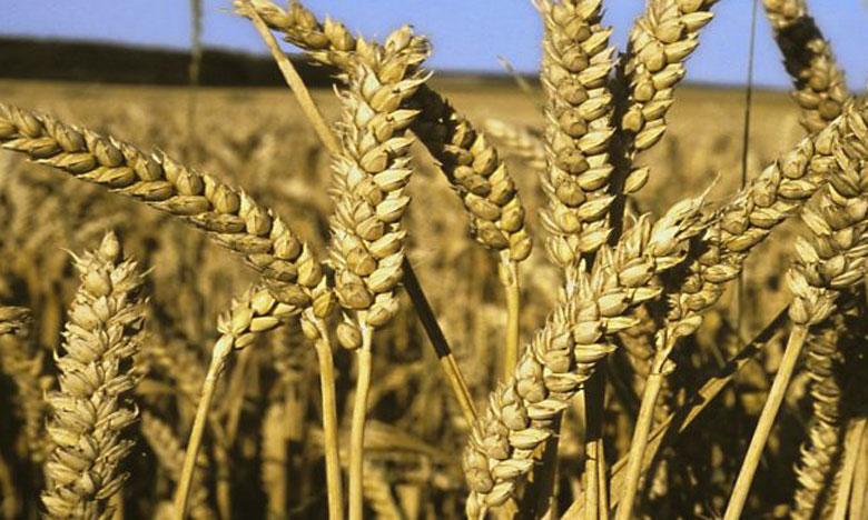 La production de blé devrait augmenter de 1,6% par an pour répondre à la demande d'une population mondiale projetée à 9,6 milliards d'habitants d'ici 2050.                                                                                                                                                                                           Ph. DR