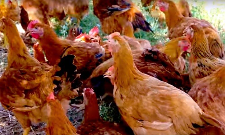 La Fédération interprofessionnelle du secteur avicole au Maroc (Fisa)  sera représentée à cette mission par une importante délégation composée de 20 professionnels représentant la filière avicole dans son ensemble. Ph : DR
