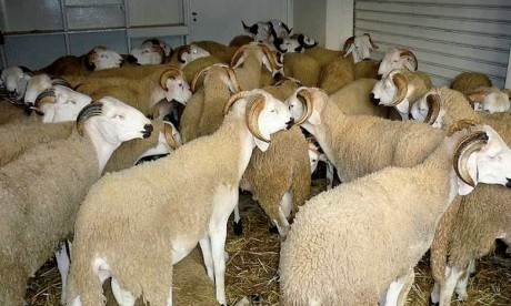 La mise en place d'un service d'abattage du mouton de l'Aïd à Casablanca, une farce ?