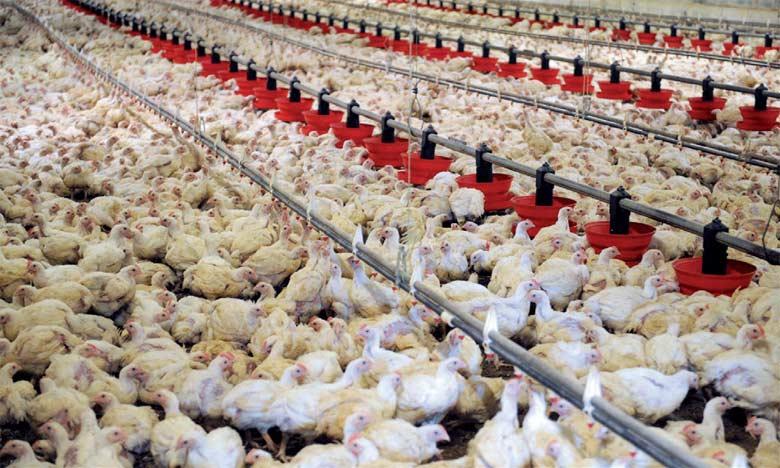 20% de l'élevage avicole décimé
