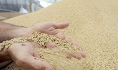 1,24 million de quintaux de blé tendre à fournir aux minoteries