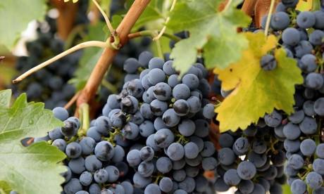 La viticulture dégage un chiffre d'affaires annuel de 250 MDH