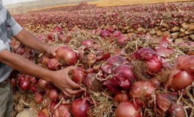 Fès-Meknès est la principale région de production de l'oignon, avec environ 11.600ha.