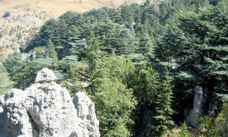 Le cèdre du Liban en péril