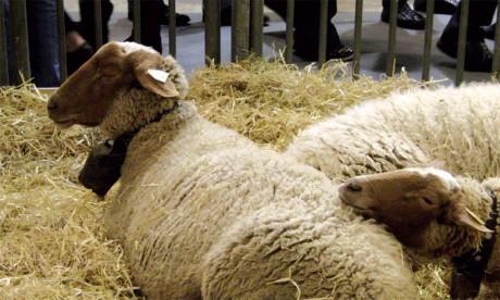 Coup d'envoi du Festival d'élevage des tribus Béni Guil