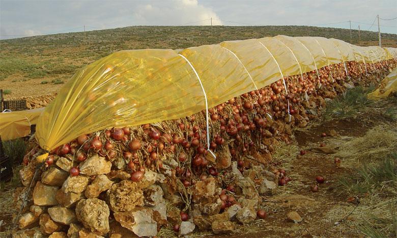 El Hajeb: un projet pilote de conservation de l'oignon