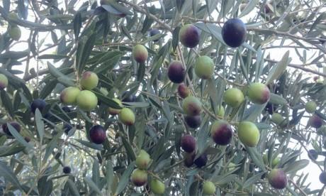Production record d'olives dans la région durant  la campagne actuelle