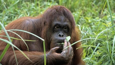 A peine découvert, l'orang-outan de Tapanuli était déjà en 2018 le grand singe le plus rare de la planète.