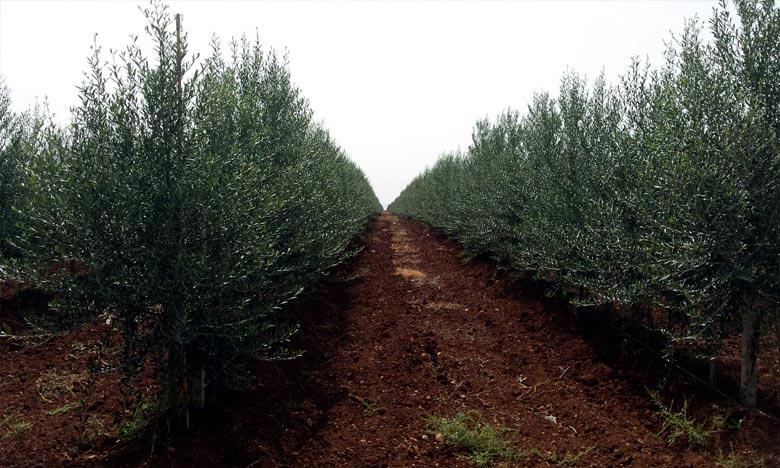 118.000 hectares d'oliviers plantés dans l'Oriental