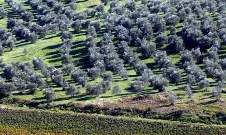 La culture de l'olivier en nette progression à Driouch