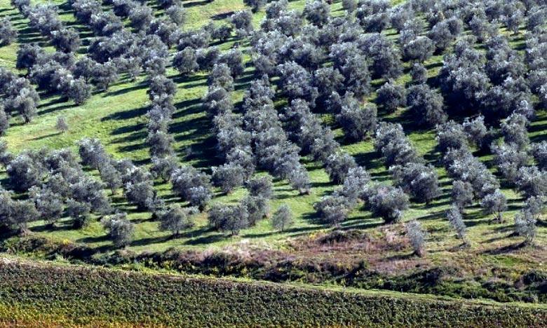 La culture de l'olivier au niveau de la province de Driouch connaît un accroissement important en terme de superficie qui est estimée actuellement à 19.840 hectares. Ph : DR