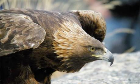 L'UICN a indiqué que cette première visite a permis d'identifier près de 25 couples reproducteurs y compris des espèces telles que l'aigle royal, l'aigle de Bonelli et le faucon lanier.  Ph. DR