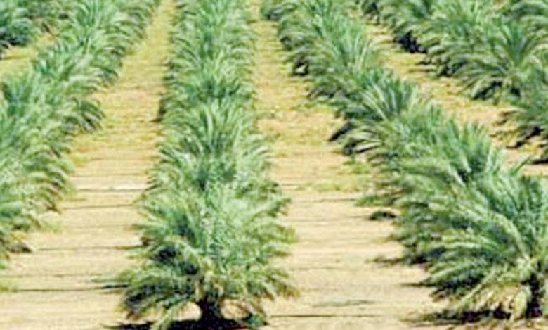 1.500 ha à planter à Tata