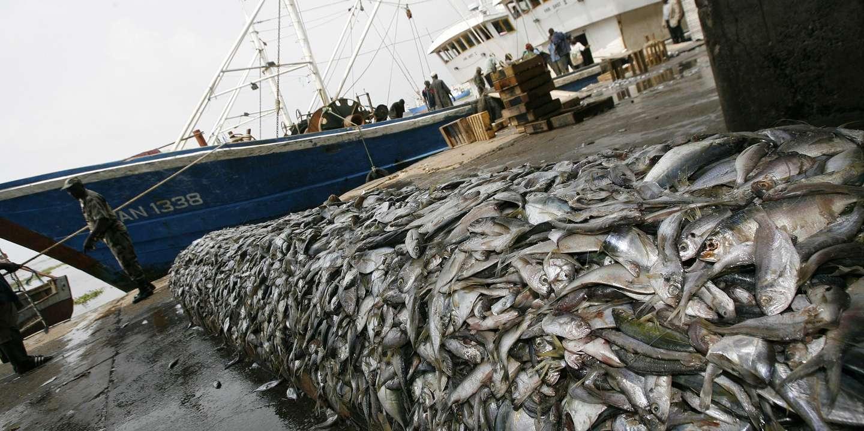Selon le rapport de la FAO, 33% des stocks de poissons sont surexploités, 60% pêchés au maximum de manière durable et 7% sous-exploités. Ph. DR.