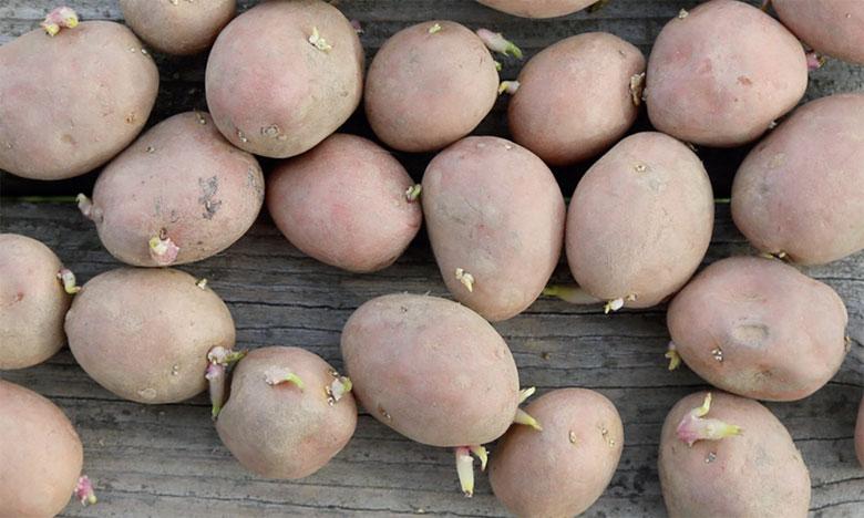 Le Maroc est considéré comme l'un des plus gros importateurs de semences de pommes de terre britanniques.