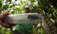 """Cette """"megachile pluto"""" est quatre fois plus grande que l'abeille à miel. Ph. AFP"""