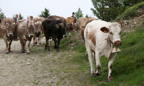 La surface des estivages diminue, mais la productivité par vache augmente en moyenne de 1 à 1,5% par an. Ph. DR