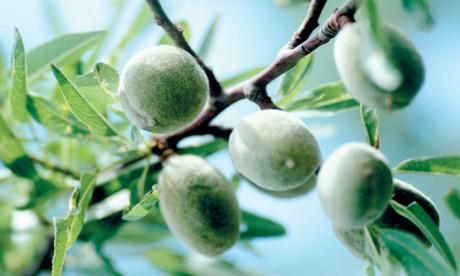Le Maroc dans le top 7 mondial des producteurs d'amandes