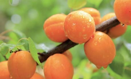 Filière abricotier : Nécessité d'instaurer un système d'agrégation au niveau de la région et l'Association  régionale des producteurs d'abricots