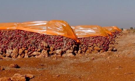 Le mois d'avril marque la fin de la campagne de commercialisation et de stockage de l'oignon sec de la campagne écoulée et le démarrage de sa nouvelle récolte.