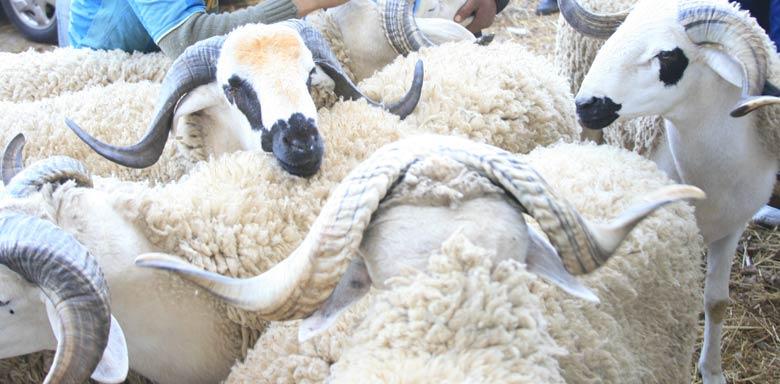 La fièvre aphteuse atteint les ovins et caprins