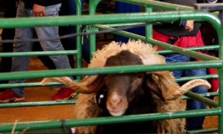 Aïd Al Adha: L'ONSSA lance l'opération d'identification des ovins
