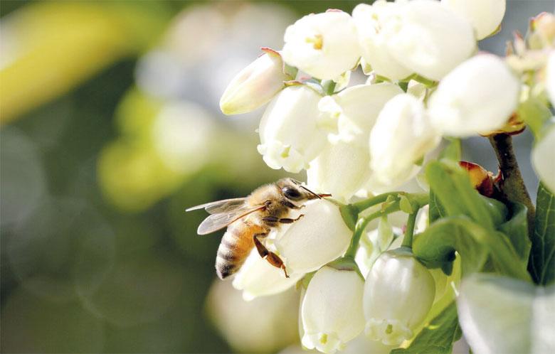 La FAO lance une action mondiale  en faveur de la pollinisation