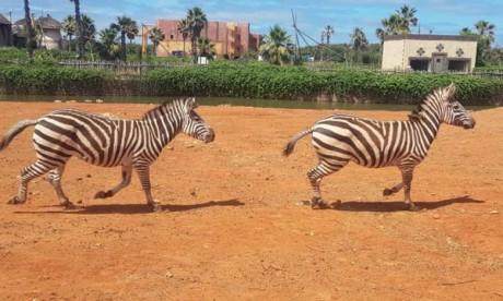 Un couple de zèbres s'installe dans  le Zoo du Parc Sindibad