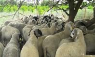 Aid Al Adha 2019 : Plus de 4,5 millions d'ovins et de caprins identifiés