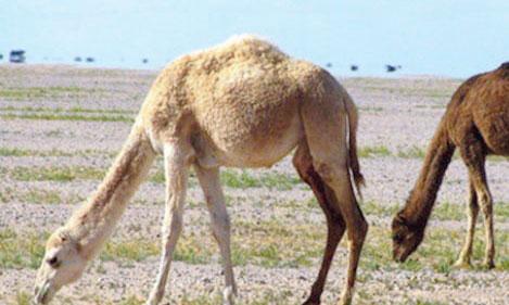 Deuxième Campagne santé cameline à Es-Smara