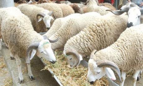 ONSSA : Plus de 4,5 millions d'ovins et de caprins identifiés