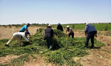 Destruction des cultures de champs de menthe non conformes aux normes de sécurité sanitaire