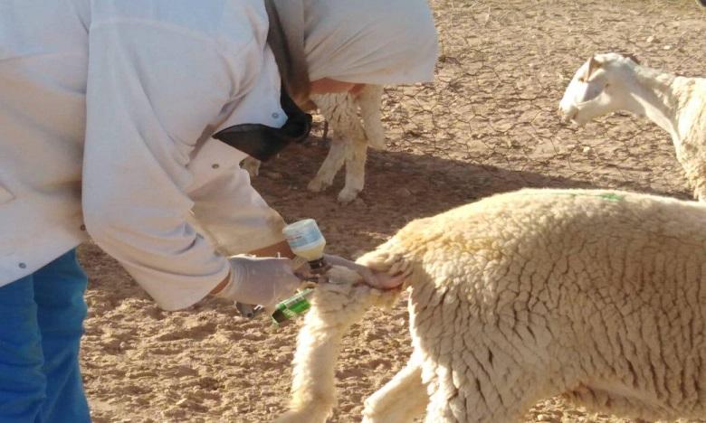 Vaccination  des bovins contre la fièvre aphteuse : il est encore temps