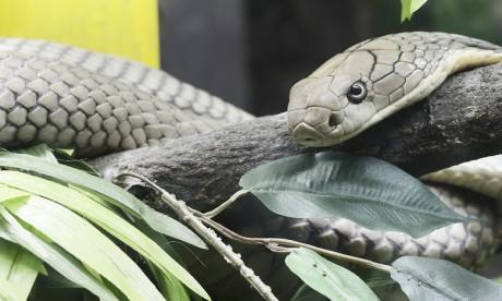 Un cobra déclenche la psychose à Herne en Allemagne