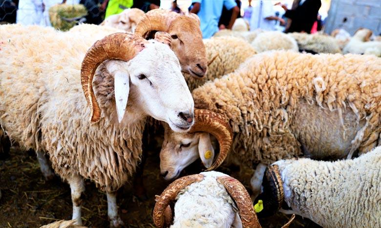 L'offre en ovins et caprins destinés à l'abattage s'est distinguée tant par le nombre que par la qualité. Ph. MAP