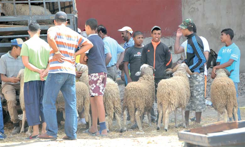 Plusieurs jours durant, les Doukkalis fréquentent les souks et battent la campagne pour choisir et acheter leur mouton.