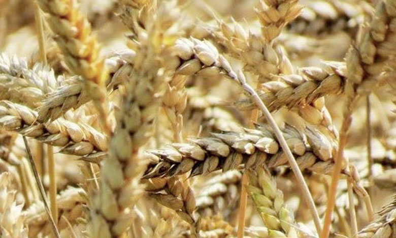 Le Maroc importerait en 2019 près de 4 Mt de blé meunier, 700.000 tonnes de blé dur, 300.000 tonnes d'orge et plus de 2 millions de tonnes de maïs.