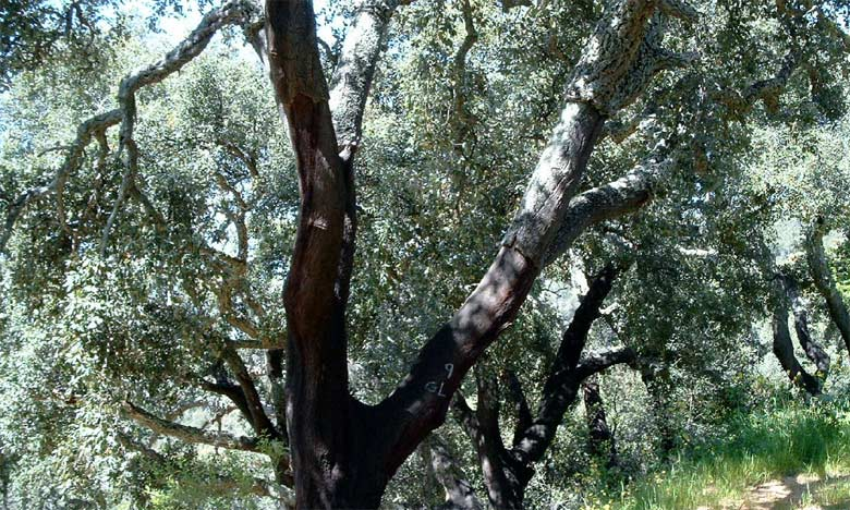 Sous l'effet de différents facteurs climatiques et anthropiques, les forêts de chêne-liège se sont rétrécies de 130.600 hectares depuis 1965.  Ph. DR