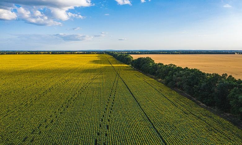 En fournissant un accès à des semences européennes ainsi qu'un soutien technique aux agriculteurs, le programme contribuera à la progression de la production pour atteindre l'ambition du Plan Maroc Vert de 85.000 hectares de tournesol et 42.000 hectares de colza. Ph : Shutterstock