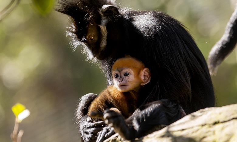 Le petit singe appartient à l'espèce Langur de François. Il ne reste qu'environ 3.000 singes de cette espèce, selon le zoo Taronga de Sydney.. Ph : AFP