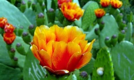 Cactus : L'ONSA  se mobilise contre   la cochenille