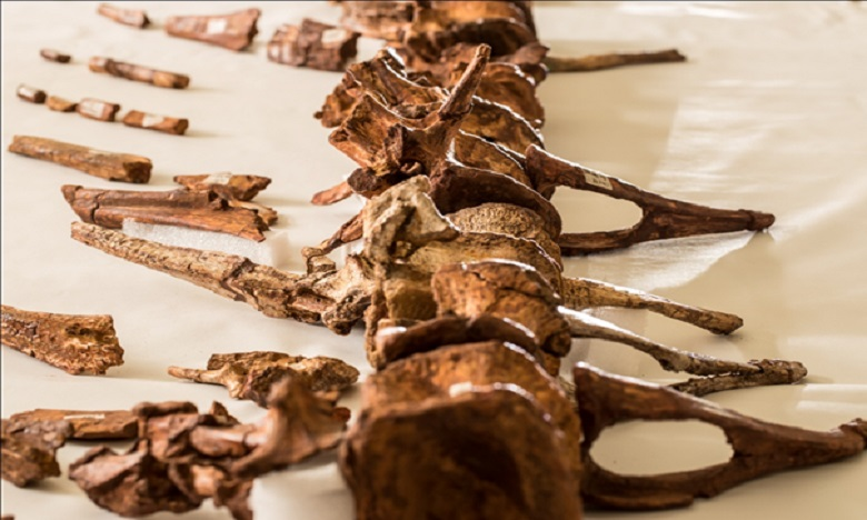 Découverte au Maroc du premier Dinosaure aquatique connu au Monde