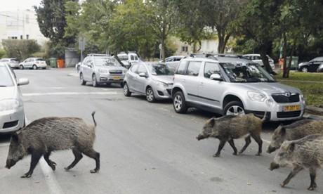 Le département des Eaux et Forêts dément les vidéos montrant des sangliers circulant dans les villes