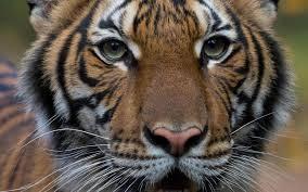 Covid-19 : Un tigre du zoo du Bronx à New York testé positif
