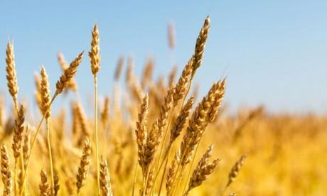 635.000 tonnes de blé dur canadien importés en 9 mois